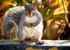 Houdini the squirrel, alleged master escape artist