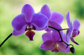 purple orchid 1